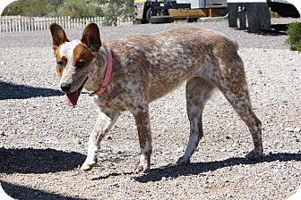 Australian Cattle Dog Dog for adption in Scottsdale, Arizona - Strawberry