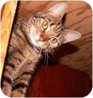 Domestic Shorthair Cat for adoption in Putnam Valley, New York - Tessie