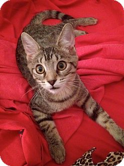 Domestic Shorthair Kitten for Sale in Raritan, New Jersey - Frisky