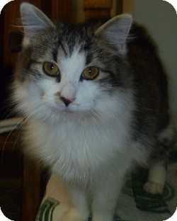 Domestic Longhair Cat for adoption in Hamburg, New York - Gloria
