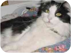 Domestic Longhair Cat for adoption in Pasadena, California - Elmo