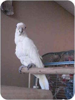 Cockatoo for Sale in Redlands, California - Tofu