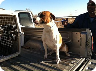 Boxer Mix Dog for Sale in Childress, Texas - Hank
