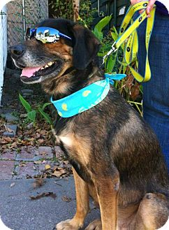 German Shepherd Dog/Shepherd (Unknown Type) Mix Dog for adption in Porter, Texas - Mercedes