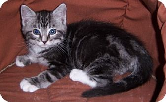 Domestic Shorthair Kitten for Sale in Murrysville, Pennsylvania - Kingsley