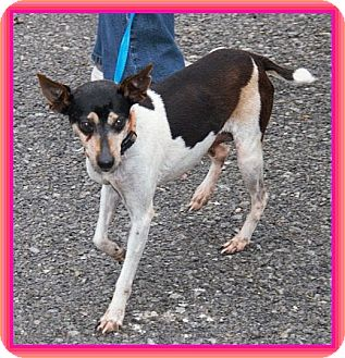 Rat Terrier Mix Dog for Sale in Windham, New Hampshire - Mary Kay IN New ENG. $150 off