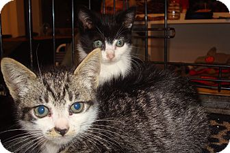 Domestic Shorthair Kitten for Sale in Brooklyn, New York - Marbles