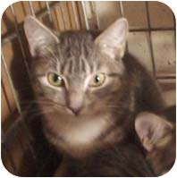 Maine Coon Cat for adoption in New York, New York - Dew Drop