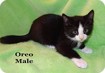 Domestic Shorthair Kitten for Sale in Bentonville, Arkansas - Oreo