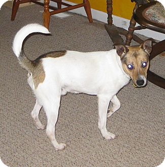 Jack Russell Terrier Puppy for Sale in Prole, Iowa - Jackson