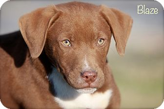 Labrador Retriever/Weimaraner Mix Puppy for Sale in Wilmington, Delaware - Blaze