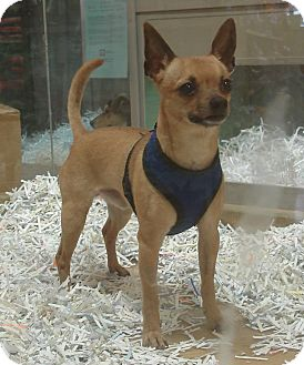 Chihuahua Mix Dog for Sale in Mt. Prospect, Illinois - Momo