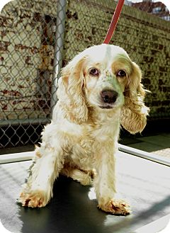 Cocker Spaniel Dog for Sale in New York, New York - Iris
