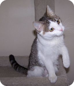 Domestic Shorthair Cat for Sale in Colorado Springs, Colorado - K-Hart11-Allison