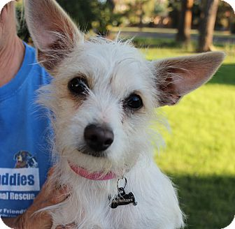 Terrier (Unknown Type, Small) Mix Dog for Sale in Chandler, Arizona - Snowflake