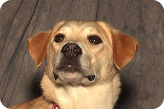 Retriever (Unknown Type) Mix Dog for adption in Blytheville, Arkansas - Honey
