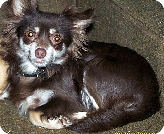 Chihuahua/Pomeranian Mix Dog for Sale in Niagra Falls, New York - Carmello