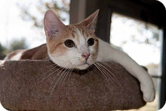 Domestic Shorthair Cat for adoption in Elfers, Florida - Dakota