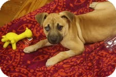 Labrador Retriever/Boxer Mix Puppy for Sale in Homewood, Alabama - Spryte