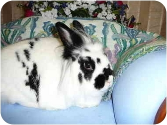 Lionhead Mix for adoption in Newport, Delaware - Sasha