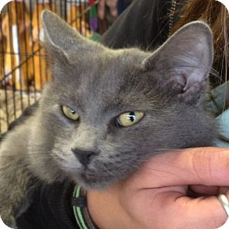 Russian Blue Kitten for Sale in Mesa, Arizona - Cobra