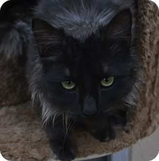 Domestic Mediumhair Cat for Sale in Chula Vista, California - Smokey