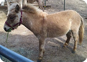 Donkey/Mule/Burro/Hinny Mix for Sale in Malvern, Iowa - Donte