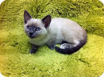 Siamese Kitten for Sale in Irvine, California - Daphne