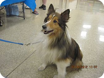 Sheltie, Shetland Sheepdog Dog for Sale in apache junction, Arizona - Duncan