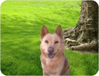 Adopt a Pet ::  Loba - Santa Monica, CA -  Australian Cattle Dog/Jindo Mix