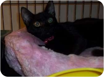 American Shorthair Cat for adoption in douglaston, New York - pinelope lap cat