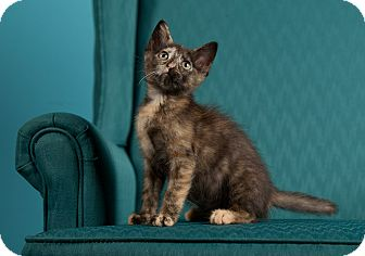 Domestic Shorthair Kitten for Sale in St. Louis, Missouri - Smidgen