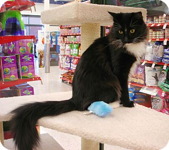 Domestic Longhair Cat for Sale in Fountain Hills, Arizona - BUTLER