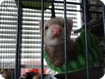 Ferret for Sale in Lighthouse Point, Florida - Cinnamon