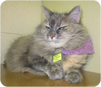 Domestic Mediumhair Cat for adoption in Lakewood, Colorado - Mango