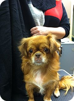 Pekingese Mix Dog for adption in Hazard, Kentucky - Lucy