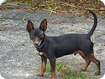 Manchester Terrier Mix Dog for Sale in hollywood, Florida - BOXIE