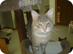 Domestic Shorthair Cat for Sale in Hamburg, New York - Mr. Chips