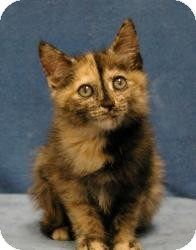 Domestic Mediumhair Cat for Sale in Sacramento, California - Brooke