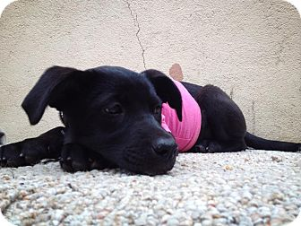 Terrier (Unknown Type, Small)/Labrador Retriever Mix Puppy for Sale in San Diego, California - Oli
