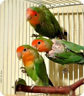 Lovebird for Sale in Shawnee Mission, Kansas - Emerald