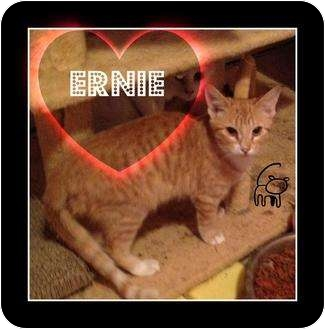 Domestic Shorthair Cat for Sale in Mobile, Alabama - Ernie