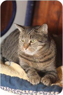 Domestic Shorthair Cat for adoption in Leonardtown, Maryland - Curiosity