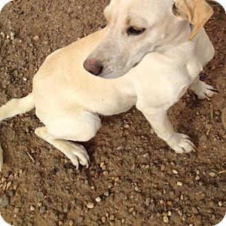 Labrador Retriever Mix Dog for adption in Childress, Texas - Lady