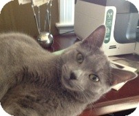 Domestic Shorthair Cat for Sale in Albany, New York - Coal