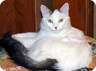 Domestic Mediumhair Cat for Sale in Alexandria, Virginia - Plum