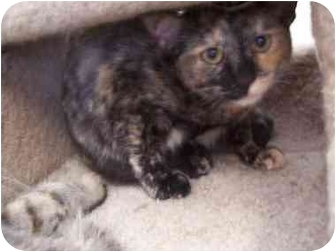Domestic Shorthair Cat for adoption in El Cajon, California - Zinnia