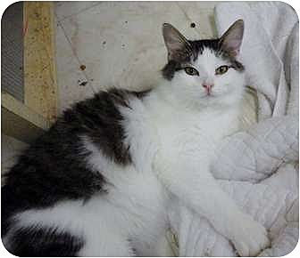 Domestic Longhair Cat for adoption in MADISON, Ohio - Julie
