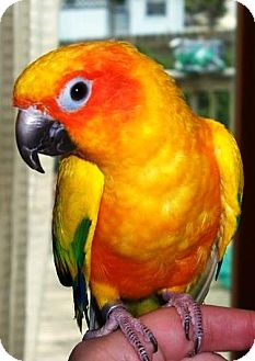 Conure for adoption in Shawnee Mission, Kansas - Sunny