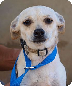 Chihuahua Mix Dog for Sale in Chula Vista, California - Jake